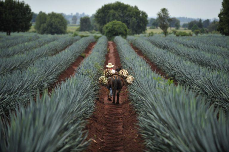 Vue d'un champs d'Agave au Mexique