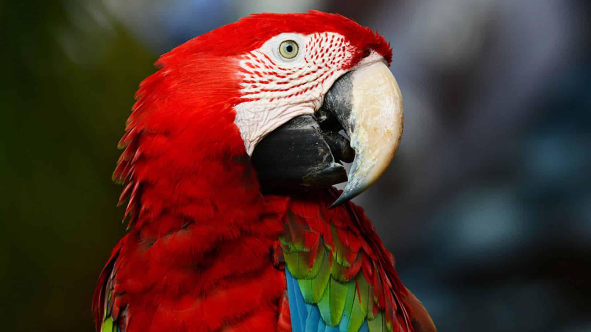 Image d'un Guacamaya rouge de profil