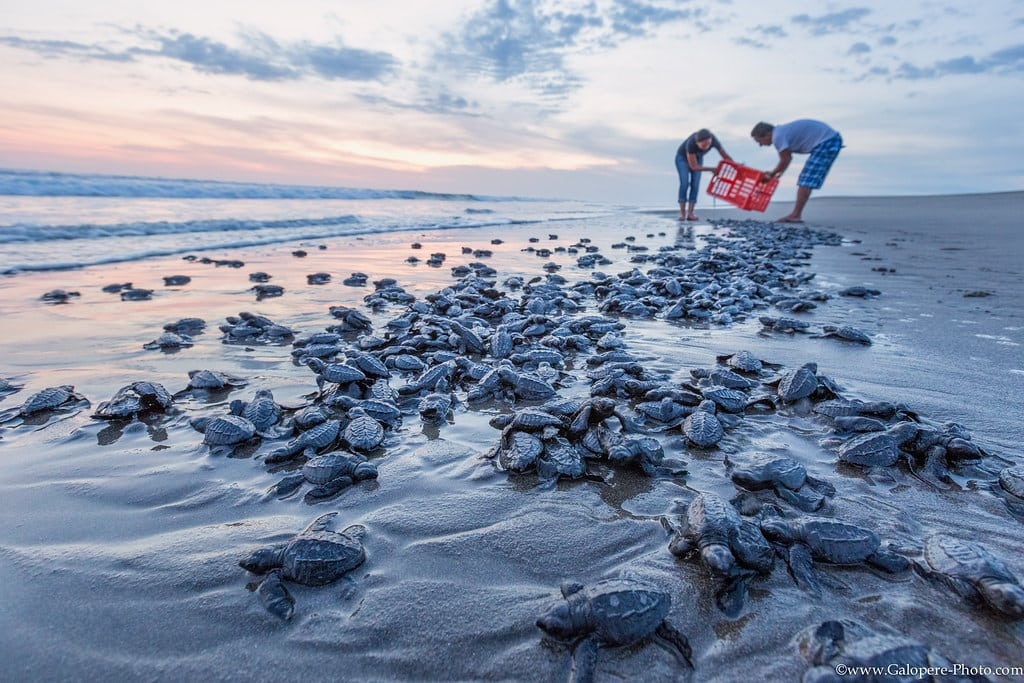 Bébé tortues à Puerto Arista
