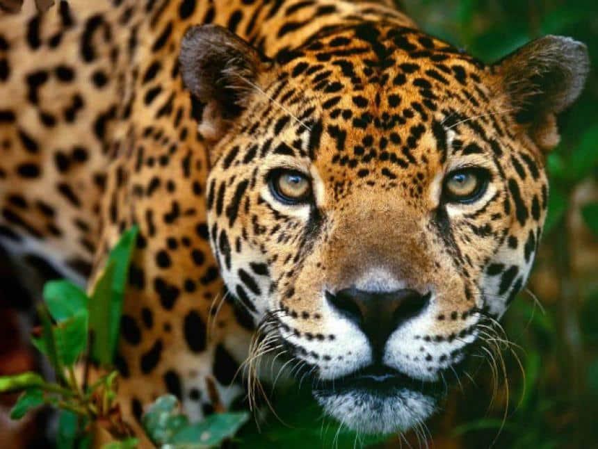 Jaguar du ZOOMAT de Tuxtla