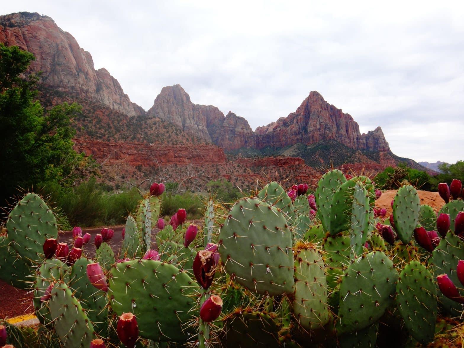 Chamos de cactus au Mexique