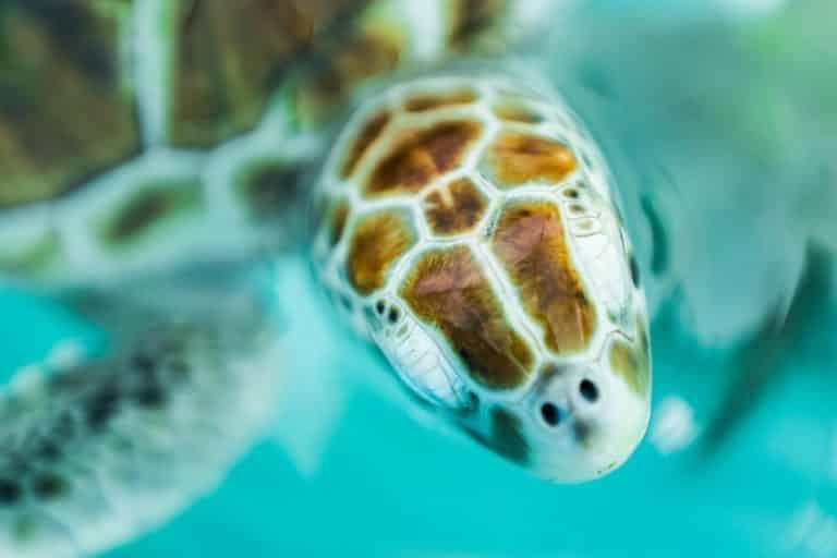 Vue d'une tortue à Isla Mujeres au Mexique