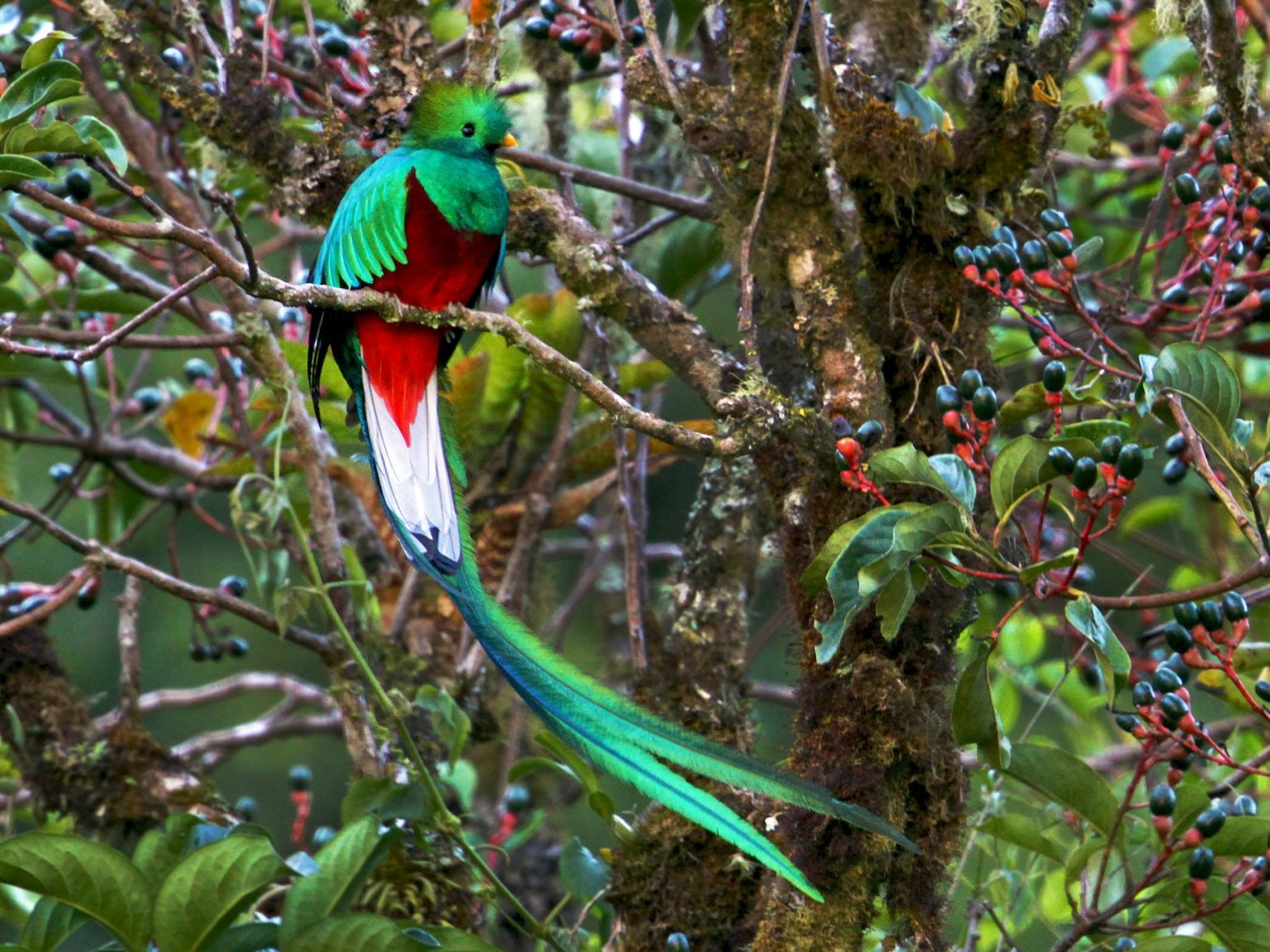 Quetzal du Mexique