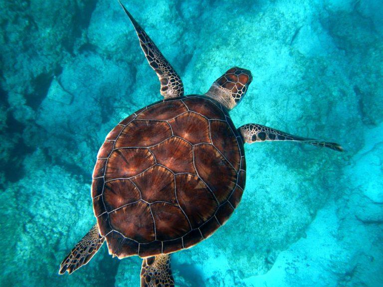 Tortue de mer du Mexique