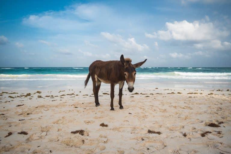Un âne sur la plage de Tulum