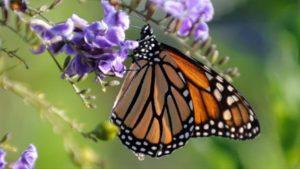 Vue de la biosphère du papillon monarque