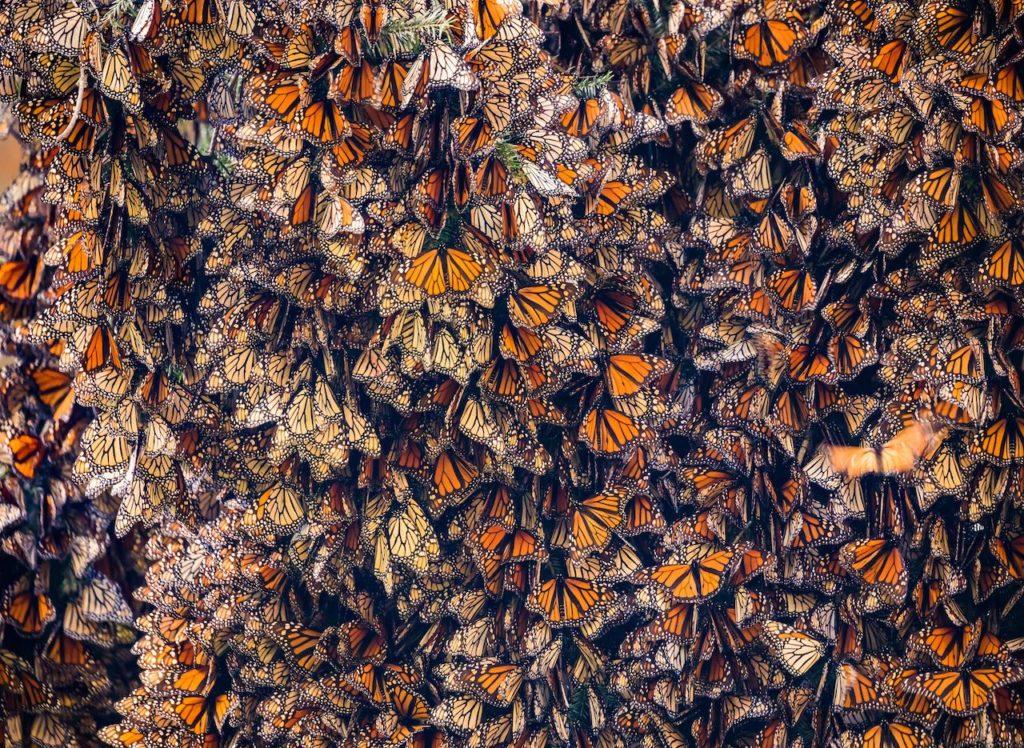 Papillon Monarque du Mexique